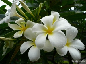 How to say the name of some flowers in thai dk mai 4 lii laa w dii plumeria frangipani frangipani can be seen across thailand there are two varieties white and purplepink mightylinksfo