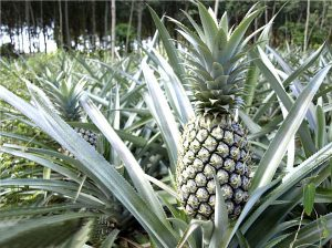 Pineapple for Thai Cooking | Learning Thai Culture