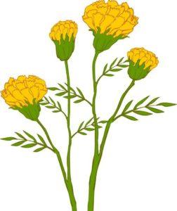 Thai Marigold Flower