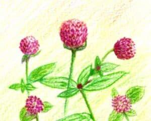 Thai Amaranth Flower for Loy Kratong