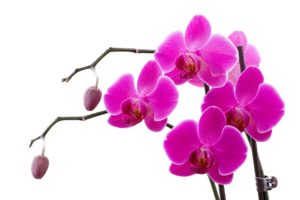 Thai Orchids for Loy Kratong Festival