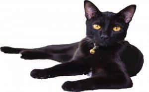 Thai cat lucky thai language